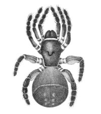 Hentz-Mygale-truncata.png