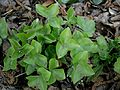 Hepatica nobilis leaves 02.jpg