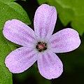 Herb Robert (Geranium robertianum) - Kitchener, Ontario.jpg