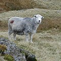 Herdwick sheep - geograph.org.uk - 7096 (cropped).jpg