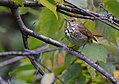 Hermit Thrush (WORKS) (30423094026).jpg