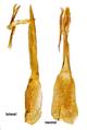 Heterothops dissimilis (Gravenhorst, 1802) Genital Male (32377856131).png