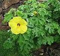 Hibiscus brackenridgei subsp. molokaiana.jpg
