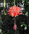 Hibiscus schizopetalus - blossom - Stadtgärtnerei Zürich - 20100919 - 01.jpg