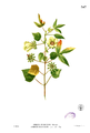 Hibiscus surattensis Blanco2.347.png