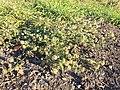 Hibiscus trionum sl39.jpg