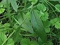 Hieracium laevigatum leaf (09).jpg
