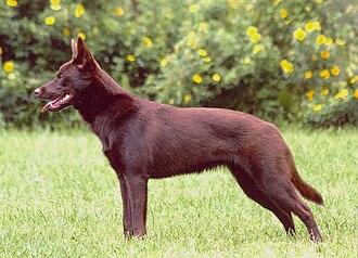 Coat (dog) - Image: Hilu the Australian Kelpie dog