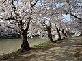 Hirosaki Park (during the sakura) - panoramio (6).jpg