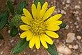 Hirpicium gorterioides subsp. gorterioides-2469 - Flickr - Ragnhild & Neil Crawford.jpg