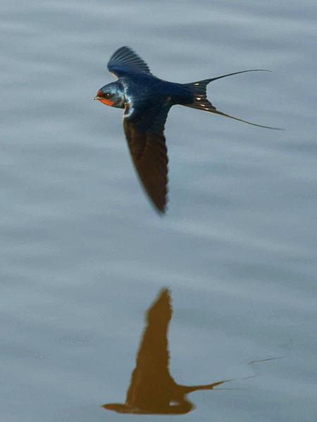 A flying Barn Swallow