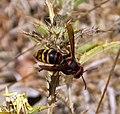 Hornet. Vespa crabro - Flickr - gailhampshire (1).jpg