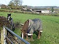 Horse field in Nercwys - geograph.org.uk - 281195.jpg
