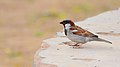 House sparrow at IIT Delhi.jpg