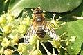 Hoverfly (RL) (8269545432).jpg