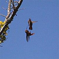 Capacités de l'Oiseau-Mouche dans MOUCHE 200px-Hummingbirds_fighting