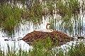 Hwy 1 & 2 Anchorage to Yukon - nesting Trumpeter Swan (5856995989).jpg