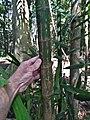 Hydriastele wendlandiana trunk SF21094.jpg