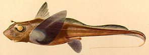 Hydrolagus mirabilis