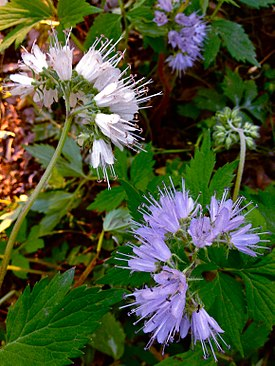 Hydrophyllum virginianum - Virginia Waterleaf.jpg