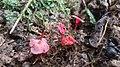 Hygrocybe aphylla Læssøe & Boertm 1021605.jpg