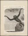 Hylobates variegatus - 1868 - Print - Iconographia Zoologica - Special Collections University of Amsterdam - UBA01 IZ19800109.tif
