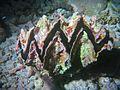 Hyotissa hyotis Maldives.JPG