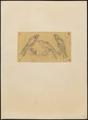 Hypotriorchis lunulatus - 1700-1880 - Print - Iconographia Zoologica - Special Collections University of Amsterdam - UBA01 IZ18200183.tif