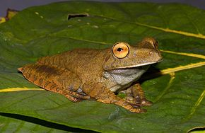 Description de l'image Hypsiboas boans.jpg.