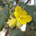 IMG 4258-Fremontodendron californicum.jpg