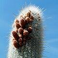 IMG 4306-1-Cleistocactus strausii.jpg