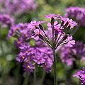 IMG 6306-Primula farinosa.jpg