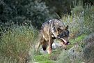 Iberian Wolf AdF 001.jpg