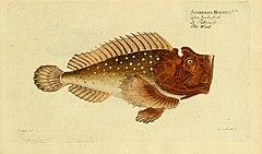 Ichthyologie; ou, Histoire naturelle des poissons (Plate 183) (6918426608).jpg