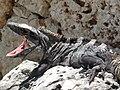 Iguana negra reposando en una roca.jpg