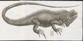 Iguana tuberculata - 1700-1880 - Print - Iconographia Zoologica - Special Collections University of Amsterdam - UBA01 IZ12800053.tif