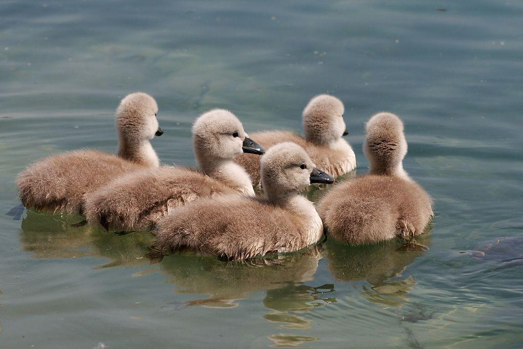 Labutie mláďatá