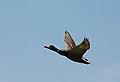Il volo del germano reale maschio.jpg