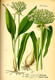 Illustration Allium ursinum0.jpg