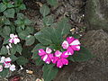 Imapatiens gardeneriana hybrids-yercaud-salem-India.JPG