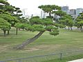 Imperial Palace Trees (8121136424).jpg