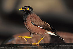 Common myna, Acridotheres tristis