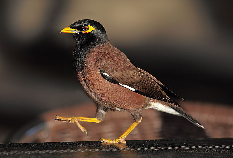 Dosiero:Indian-Mynah444.jpg