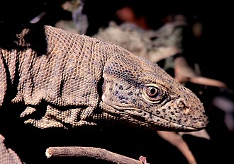 Jim Corbett National Park - Indian Monitor lizards have long necks, powerful tails and claws, and well-developed limbs