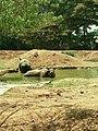 Indian rhinoceros taking bath.jpg