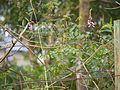 Indigofera cassioides (9949861793).jpg