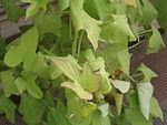 Ipomoea batatus cv. Tainon No.62.JPG
