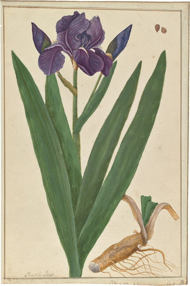Iris germanica (watercolor).jpg