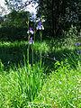 Iris sibirica Bobrovnya5.JPG