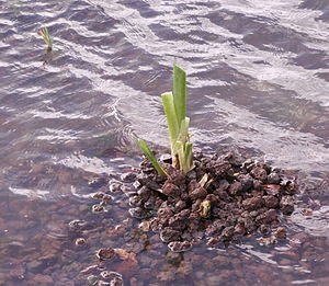 Organisms involved in water purification - A water-purifying plant (Iris pseudacorus) in growth after winter (leaves die at that time of year)